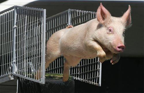 疯狂动物城里猪