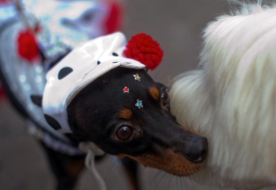 狗狗 帕卡 巴纳 里约热内卢/2月3日,在巴西里约热内卢的科帕卡巴纳海滩,一只身着狂欢节...