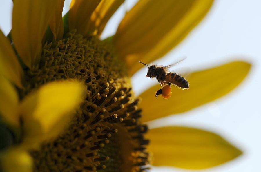 蜂有方法答:四脾也只算中等蜂群,王不行就换王中华蜜蜂一般蓝价格和尚鹦鹉图片